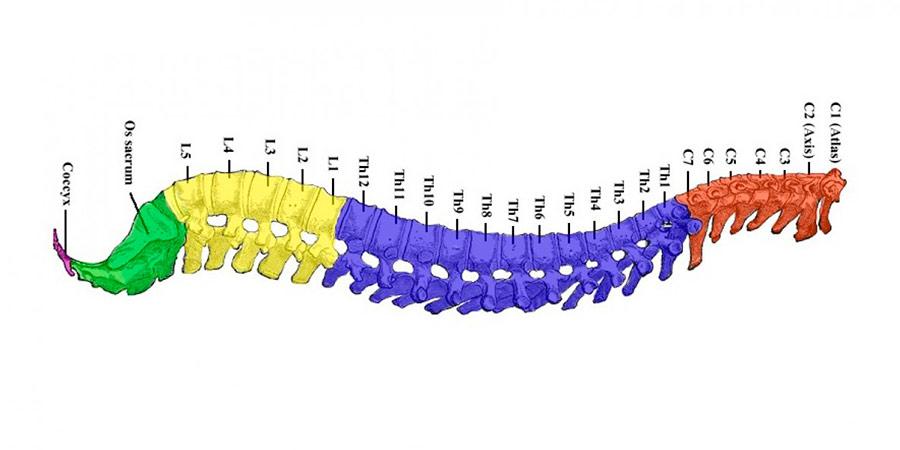 partes-de-la-columna-vertebral